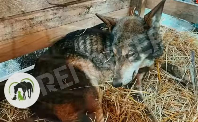 Волонтеры приюта «Пегас» забрали голодающего волка у нерадивого хозяина