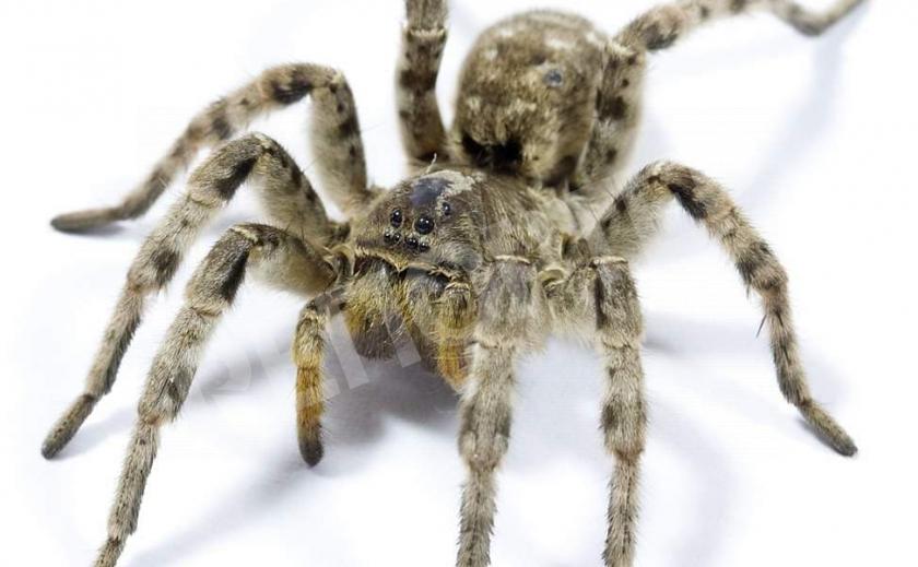 На днепровской детской площадке обнаружили ядовитого тарантула