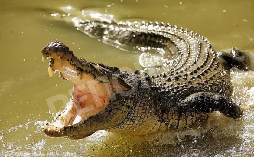 Ради спасения сестры англичанка «навешала» крокодилу
