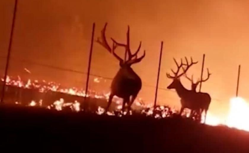 Опубликовано видео: в США олени чуть не сгорели во время массовых пожаров