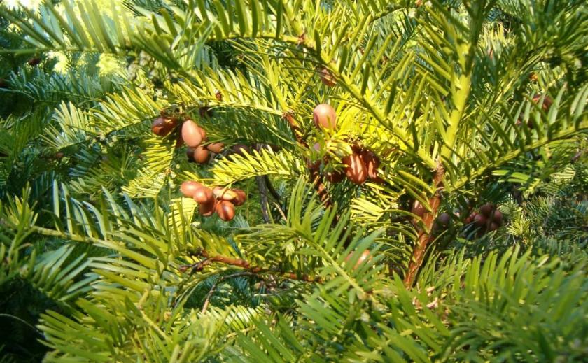 В Ботсаду Днепра собирают плоды головчатого тиса Харрингтона. Это бывает раз в 7 лет