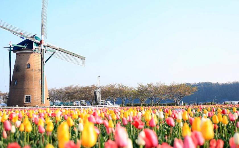 Антивирус. Почему Япония уничтожает тюльпаны