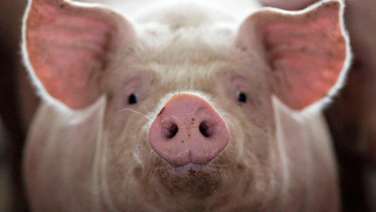 В Днепре - актуально: не хочешь быть энтелодоном – не ешь свинину!