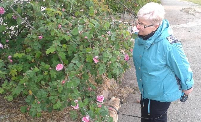 В Днепре цветёт бузина, благоухает чайная роза, скоро созреют черешня, шелковица и вишня
