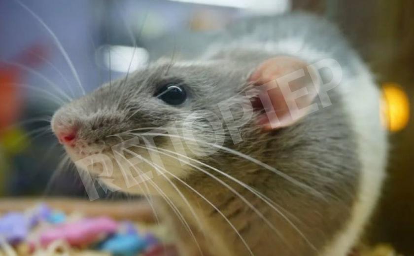 Крыса – одно из самых умных существ на Земле