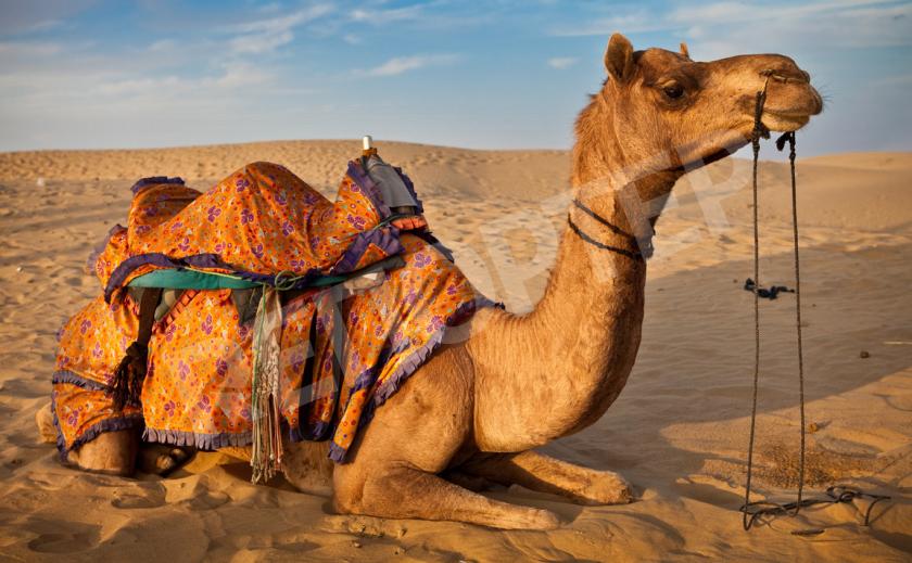 Верблюд - «корабль пустыни»