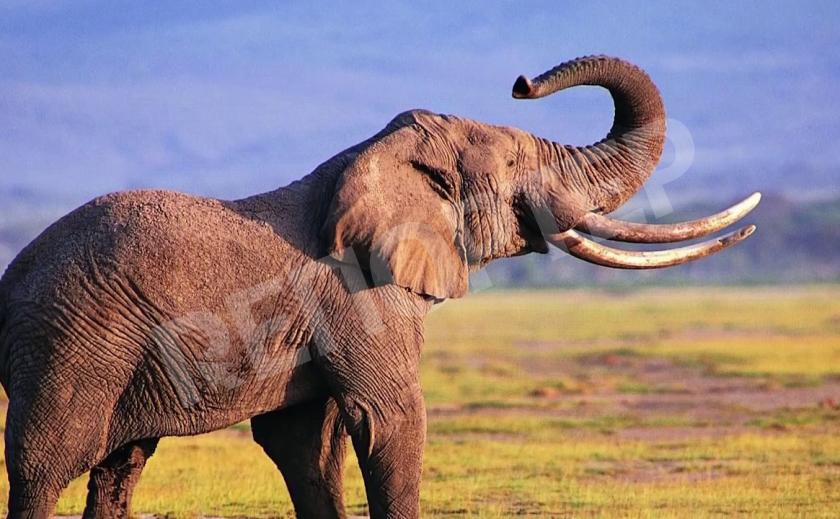 Слон – символ Африканского континента