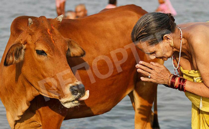 Корова - священное животное Индии