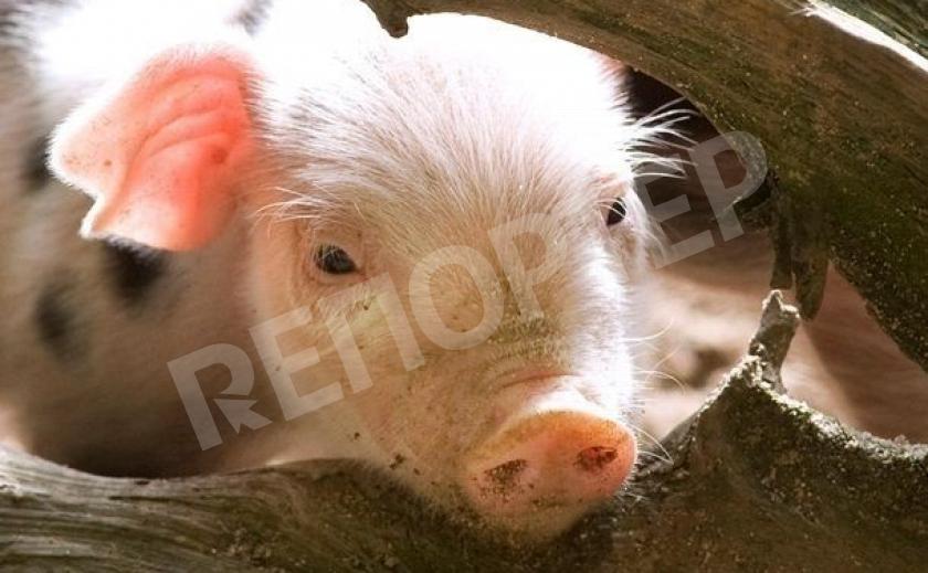 На Днепропетровщине появились чумные свиньи