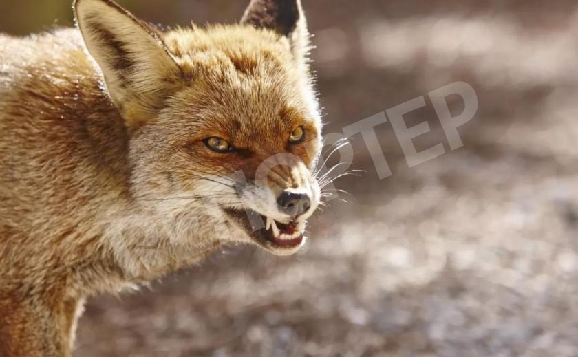 Ждем эпидемии бешенства? В Днепр прокрались лисы